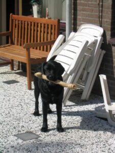Zwarte Labrador Bart met een groot bot in de tuin van Debby's ouders