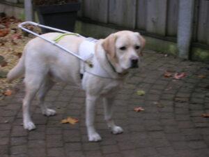 Blonde Labrador Umbar staat met zijn tuig aan
